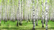Birke - helles schimmerndes Holz