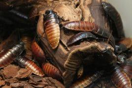 Ungeziefer - Kakerlaken