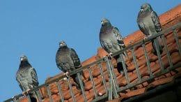 Tauben auf dem Dach - eigentlich ganz putzig