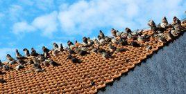So viele Tauben auf dem Dach sind in der Großstadt unerwünscht