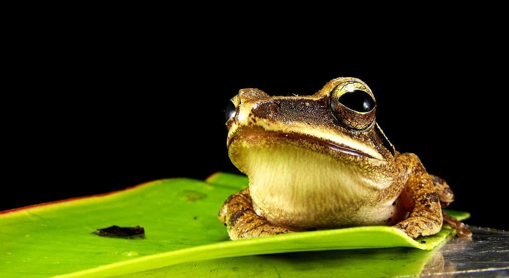 Sie können auch einen Frosch im Gartenteich ansiedeln
