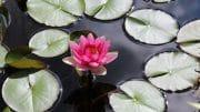 Eine Seerose im eigenen Gartenteich - das ist doch was!