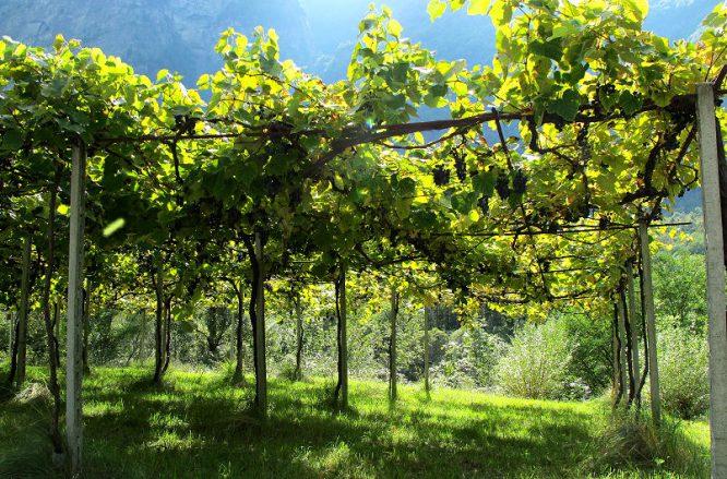 Pergola oder Laubengang für Weinreben