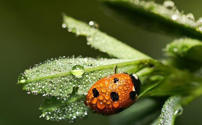 Marienkäfer sind Nützlinge im Garten - sie fressen Blattläuse