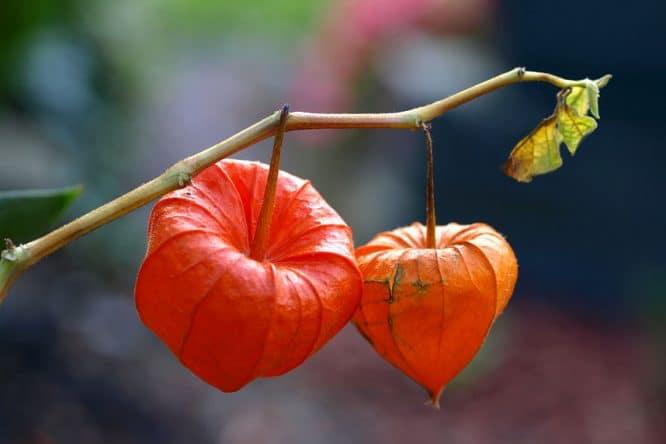 Herbstdeko - die rote Lampionblume