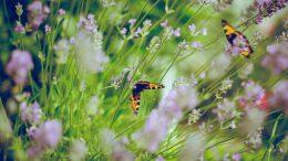 Zu den Insekten zählen auch die Schmetterlinge.