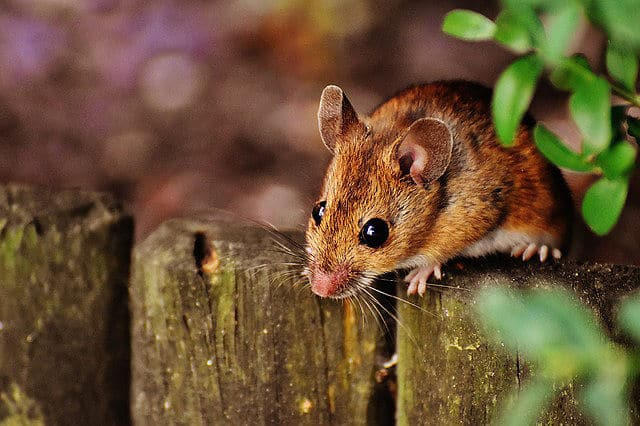 Für so eine süße Maus baut man doch gern eine Lebendfalle.