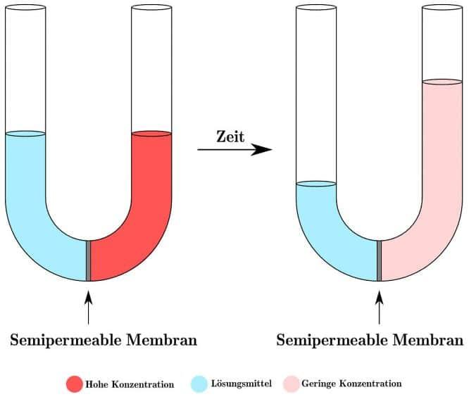 Osmose einfach erklärt: zwei unterschiedlich hoch konzentrierte Flüssigkeiten, durch eine Membran getrennt, setzen Osmose in Gang.