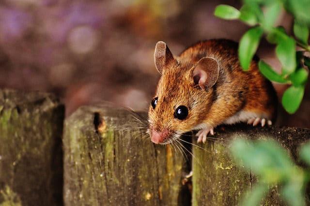 Schadnager Maus
