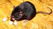 Schadnager Ratte