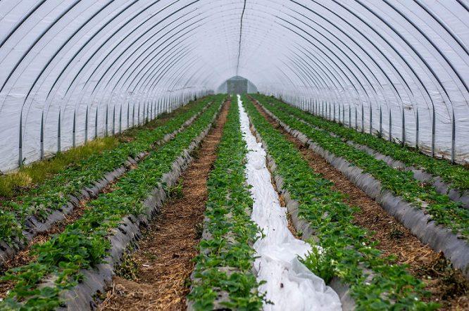 Der Aufbau einer Tropfbewässerung empfiehlt sich auch bei Erdbeeren.