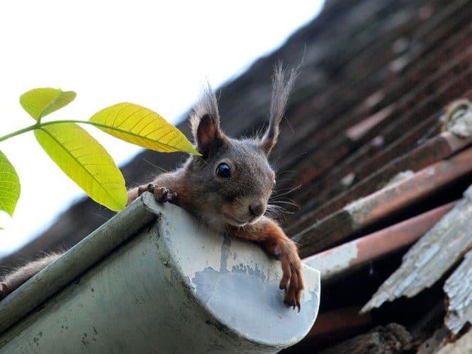 Eine Dachrinnenheizung freut auch das Eichhörnchen.