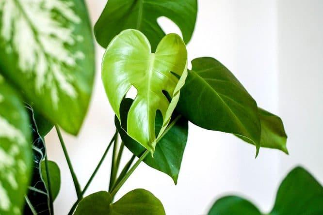 Solch großblättrige Zimmerpflanzen sind besonders allergiefreundlich.