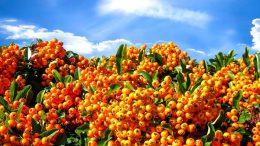 Folgen des Klimawandels im Garten - robuste Schattenspender wie den Feuerdorn pflanzen.