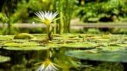 Die Seerose gehört zu den beliebtesten Wasserpflanzen.