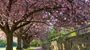Solch schöne Kirschbaumallee braucht eine professionelle Baumpflege.