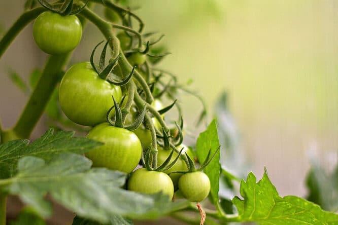 Tomaten aus dem eigenen Gewächshaus.