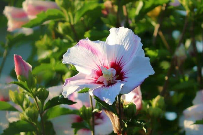 Hibiskuspflanzen blühen üppig, wenn sie viel Licht bekommen.