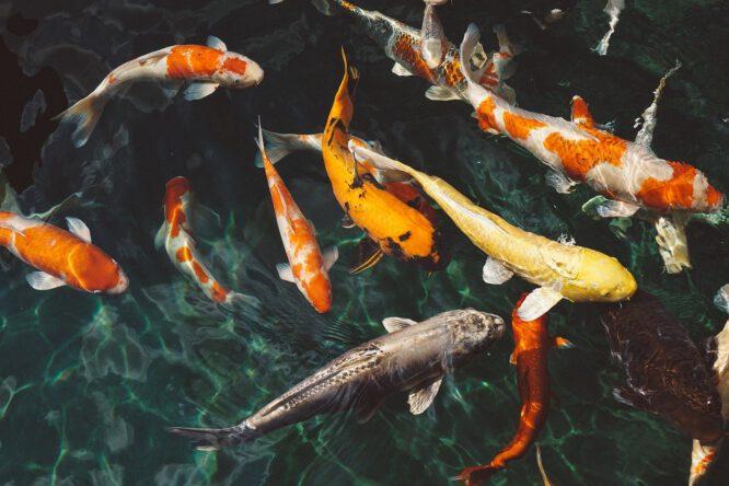 Fische fressen die kleinen Kaulquappen, Sie müssen sich also zwischen Fischen wie diesen prächtigen Koi-Fischen und Fröschen entscheiden.