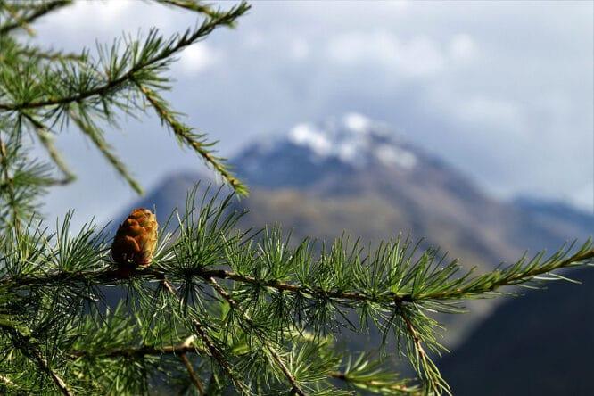 Das Holz der Lärche ist für eine Terrasse gut geeignet, besonders das der sibirischen Lärche.
