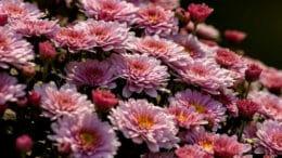 Astern zählen zu den typischen Herbstblumen - sie leuchten oft bis in den Winter hinein im heimischen Garten.