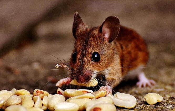 Diese Maus mag offenbar Nüsse, wie ihre Artgenossen auch.