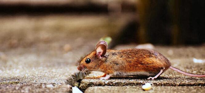 So eine kleine Maus ist ja niedlich. Aber eine Maus bleibt meist nicht allein und viele Mäuse im Haus - das will niemand.